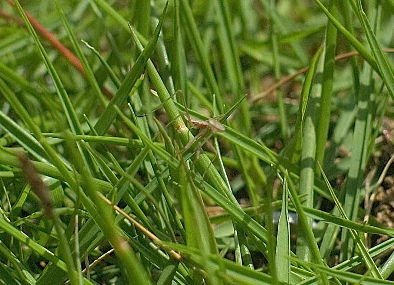 カマキリの幼虫(トリミング写真)