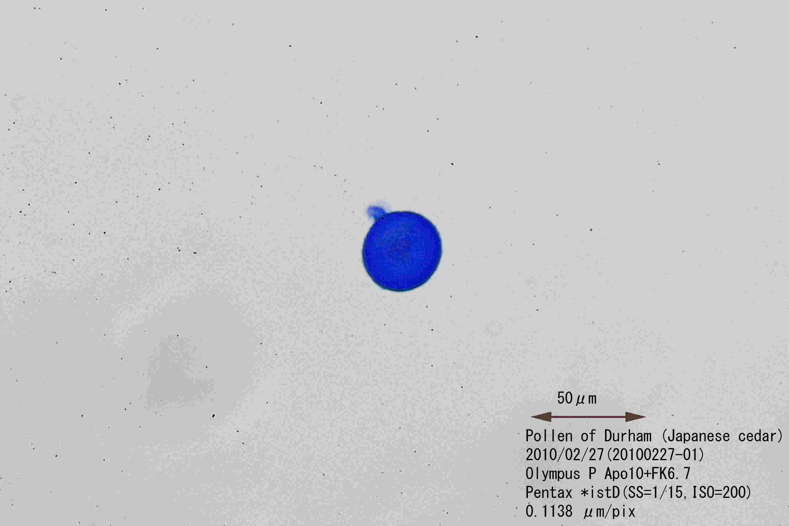 2月27日のスギ花粉
